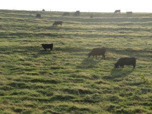 pastured cattle
