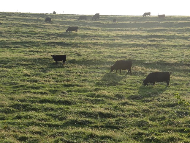 Pastured cattle