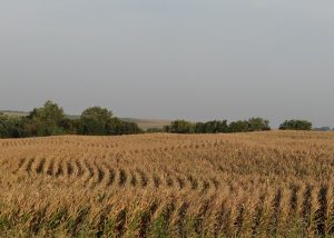 squiggle rows of corn