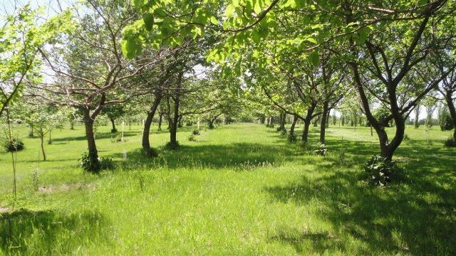 Orchard tree row