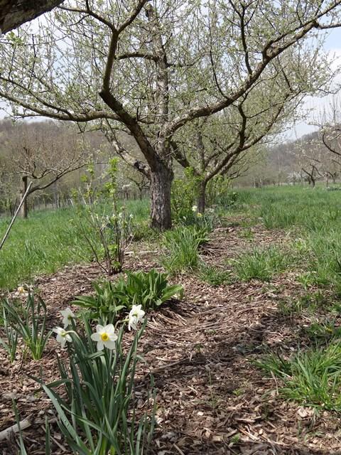 orchard at sliwas