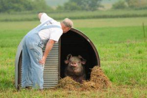 man looking at pig